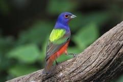 χρωματισμένο ciris passerina υφάσματο& Στοκ εικόνα με δικαίωμα ελεύθερης χρήσης