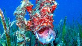 Χρωματισμένο Frogfish ή σκλεμπόψαρο, pictus Antennarius Στοκ φωτογραφίες με δικαίωμα ελεύθερης χρήσης