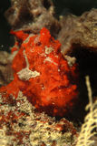 Χρωματισμένο Frogfish, νησί Mabul, Sabah Στοκ εικόνα με δικαίωμα ελεύθερης χρήσης