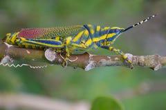 Χρωματισμένο Grasshopper: Έντομο Στοκ Εικόνα