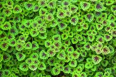 Χρωματισμένο nettle φύλλο Στοκ φωτογραφίες με δικαίωμα ελεύθερης χρήσης