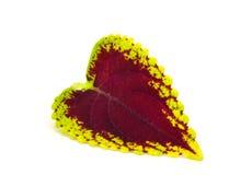 Χρωματισμένο nettle - coleus Στοκ Φωτογραφίες