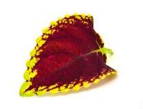 Χρωματισμένο nettle - coleus Στοκ φωτογραφία με δικαίωμα ελεύθερης χρήσης