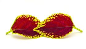 Χρωματισμένο nettle - coleus Στοκ εικόνες με δικαίωμα ελεύθερης χρήσης