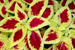 Χρωματισμένο Nettle Plectranthus scutellarioides Στοκ φωτογραφία με δικαίωμα ελεύθερης χρήσης