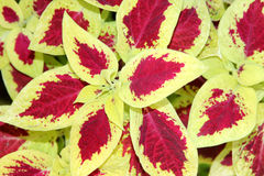 Χρωματισμένο Nettle Plectranthus scutellarioides Στοκ Φωτογραφίες