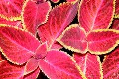 Χρωματισμένο Nettle Plectranthus scutellarioides Στοκ Εικόνα