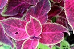 Χρωματισμένο Nettle Plectranthus scutellarioides Στοκ Εικόνες
