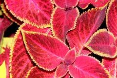 Χρωματισμένο Nettle Plectranthus scutellarioides Στοκ εικόνες με δικαίωμα ελεύθερης χρήσης