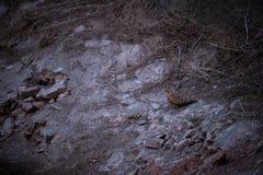 Χρωματισμένο Sandgrouse ή indicus Pterocles waterhole πλησίον για να αποσβήσει τη δίψα τους χειμώνες στο δάσος jhalana, Jaipur στοκ εικόνες