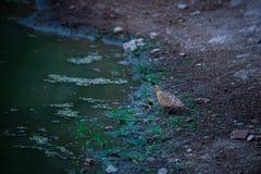 Χρωματισμένο Sandgrouse ή indicus Pterocles waterhole πλησίον για να αποσβήσει τη δίψα τους χειμώνες στο δάσος jhalana, Jaipur στοκ φωτογραφία με δικαίωμα ελεύθερης χρήσης