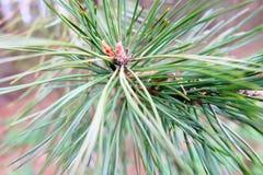 Χρόνος άνοιξη - ένας κλάδος δέντρων πεύκων κλάδων με τους οφθαλμούς Στοκ Φωτογραφία