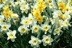 χρόνος άνοιξη ανασκόπησης daffodils κίτρινος Στοκ Εικόνα