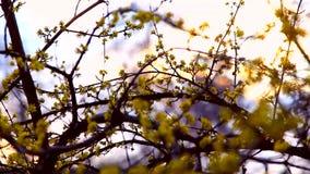 Χρόνος άνοιξη, dogwood κλάδος που ανθίζει στο ηλιοβασίλεμα απόθεμα βίντεο