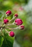 Χρόνος δέντρων άνθισης Apple την άνοιξη άνθος μήλων, άνθη μήλων Στοκ φωτογραφίες με δικαίωμα ελεύθερης χρήσης