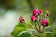 Χρόνος δέντρων άνθισης Apple την άνοιξη άνθος μήλων, άνθη μήλων Στοκ Εικόνες