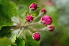 Χρόνος δέντρων άνθισης Apple την άνοιξη άνθος μήλων, άνθη μήλων Στοκ Φωτογραφίες