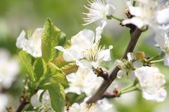 Χρόνος δέντρων άνθισης Apple την άνοιξη Στοκ φωτογραφία με δικαίωμα ελεύθερης χρήσης