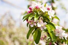 Χρόνος ανθών δέντρων της Apple την άνοιξη Στοκ Εικόνες