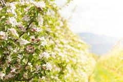 Χρόνος ανθών δέντρων της Apple την άνοιξη Στοκ Φωτογραφίες