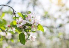 Χρόνος ανθών λουλουδιών της Apple την άνοιξη με το πράσινο BA φύσης φύλλων Στοκ φωτογραφίες με δικαίωμα ελεύθερης χρήσης