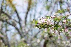 Χρόνος ανθών λουλουδιών της Apple την άνοιξη με το πράσινο BA φύσης φύλλων Στοκ Φωτογραφίες
