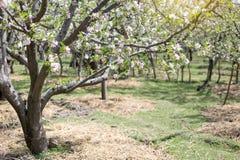 Χρόνος ανθών λουλουδιών της Apple την άνοιξη με το πράσινο BA φύσης φύλλων Στοκ Εικόνα