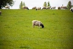 Χρόνος γευμάτων για ένα μόνο πρόβατο στον τομέα Στοκ Εικόνα