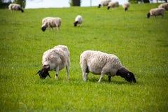 Χρόνος γευμάτων για τα πρόβατα στον τομέα Στοκ Φωτογραφίες