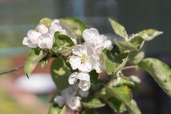 Χρόνος δέντρων άνθισης Apple την άνοιξη Άσπρα λουλούδια του Apple-δέντρου Στοκ φωτογραφία με δικαίωμα ελεύθερης χρήσης