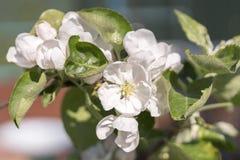 Χρόνος δέντρων άνθισης Apple την άνοιξη Άσπρα λουλούδια του Apple-δέντρου Στοκ Εικόνα