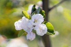 Χρόνος δέντρων άνθισης Apple την άνοιξη Άσπρα λουλούδια του Apple-δέντρου Στοκ φωτογραφίες με δικαίωμα ελεύθερης χρήσης
