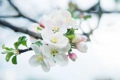 Χρόνος δέντρων άνθισης Apple την άνοιξη Στοκ φωτογραφίες με δικαίωμα ελεύθερης χρήσης