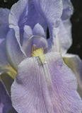 Χρόνος η πορφυρή Iris άνοιξη Στοκ φωτογραφία με δικαίωμα ελεύθερης χρήσης