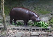 Χρόνος μεσημεριανού γεύματος Hippopotamus στο ζωολογικό κήπο Στοκ φωτογραφία με δικαίωμα ελεύθερης χρήσης