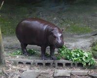 Χρόνος μεσημεριανού γεύματος Hippopotamus στο ζωολογικό κήπο Στοκ Φωτογραφίες