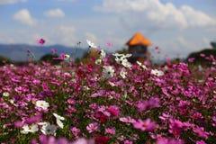 Χρόνος μεσημεριού λουλουδιών κόσμου (κόσμος Bipinnatus) Στοκ φωτογραφία με δικαίωμα ελεύθερης χρήσης