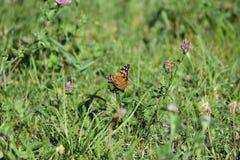 Χρόνος σίτισης πεταλούδων Στοκ φωτογραφίες με δικαίωμα ελεύθερης χρήσης