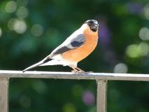 Χρόνος σίτισης πουλιών στοκ εικόνες