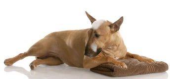 χρόνος σκυλιών λουτρών Στοκ Φωτογραφίες
