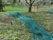 Χρόνος συγκομιδών ελιών Το δίχτυ καθορίζεται στο έδαφος για να πιάσει τη συγκομιδή Ιταλία Τοσκάνη Στοκ Εικόνες