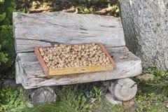 Χρόνος συγκομιδών ξύλων καρυδιάς Στοκ Φωτογραφία