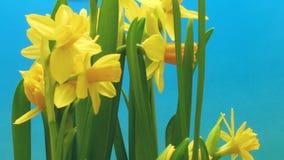 Χρόνος-σφάλμα λουλουδιών Daffodil φιλμ μικρού μήκους