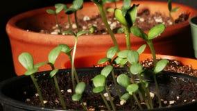 Χρόνος-σφάλμα σποροφύτων της Zinnia και ηλίανθων φιλμ μικρού μήκους