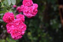 Χρόνος των τριαντάφυλλων Στοκ Φωτογραφία