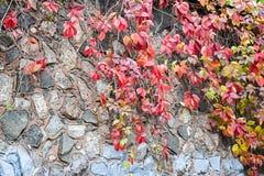 Χρόνος φθινοπώρου Άγρια σταφύλια στον τοίχο πετρών του κάστρου Στοκ Φωτογραφία