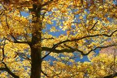 Χρώματα και σημύδες φθινοπώρου Στοκ Εικόνες