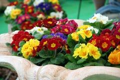Χρώματα μιγμάτων Primula Στοκ Εικόνα