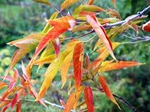 Χρώματα του φθινοπώρου, ένας κλάδος των κόκκινων φύλλων Στοκ Φωτογραφίες