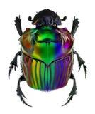 Χρώματα φαντασίας στον κάνθαρο κοπριάς conspicillatum Oxysternon Στοκ φωτογραφία με δικαίωμα ελεύθερης χρήσης